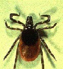 The same ticks that spread Lyme disease may also carry a rarer bacteria
